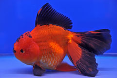 Goldfish in a glass cabinet Royalty Free Stock Image