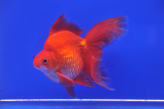 Goldfish in a glass cabinet Royalty Free Stock Photo