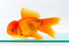 Goldfish  in glass fish tank Stock Photos