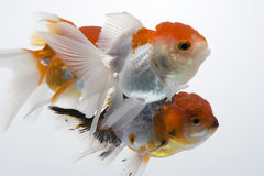 Goldfish 16. The gold fish isolated on white Royalty Free Stock Images