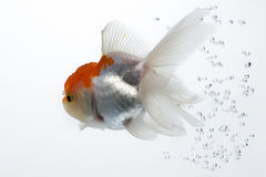 Goldfish 14. The gold fish isolated on white Royalty Free Stock Photography
