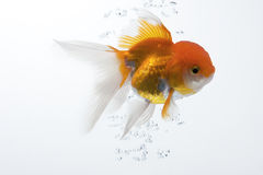 Goldfish 09. The gold fish isolated on white Royalty Free Stock Photography