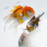 Goldfish 17. The gold fish isolated on white Royalty Free Stock Images