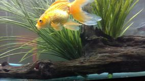 Goldfish. Gold swimming fish Stock Image