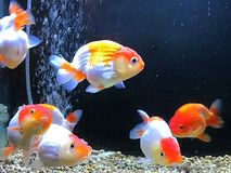 Goldfish. Es in tank royalty free stock photo