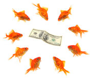 Goldfish group around dollar Royalty Free Stock Images