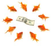 Goldfish group around dollar. Goldfish group around money isolated on white background Royalty Free Stock Images