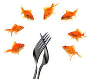 Goldfish group around forks Stock Image