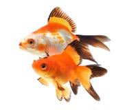 Goldfish, group of fish on a white background Stock Photo