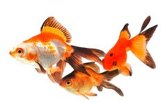 Goldfish, group of fish on a white background Stock Photography