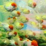 Goldfish fotografia stock