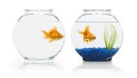 Goldfish Habitats. Two ryukin goldfish in contrasting fish bowls Royalty Free Stock Image