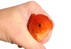 Goldfish in hand. Close up royalty free stock photos