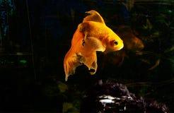 Goldfish im Aquarium Lizenzfreies Stockfoto