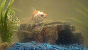 Free Goldfish In The Aquarium At Home. Aquarium Filer, Rock And Plants In The Background Royalty Free Stock Images - 142366139