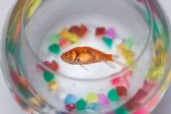 Goldfish inoperante Fotografia de Stock Royalty Free