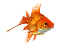 Goldfish isolado no branco Imagem de Stock Royalty Free