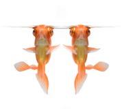 Goldfish isolado no fundo branco Fotografia de Stock Royalty Free