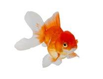 Goldfish isolado no fundo branco Imagens de Stock Royalty Free