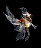 Goldfish isolated on black background Stock Photography