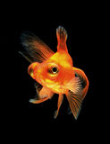 Goldfish isolated on black background Stock Photos