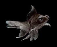 Goldfish isolated on black background Stock Photography