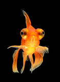 Goldfish isolated on black background Royalty Free Stock Photos