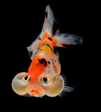 Goldfish isolated on black background Stock Image