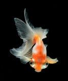 Goldfish isolated on black background Stock Images
