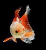 Goldfish isolated on black background Stock Photo