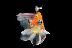 Goldfish Royalty Free Stock Photos