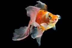 Goldfish. Isolated on black background Royalty Free Stock Photo