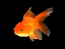 Goldfish Isolated on black Background. Royalty Free Stock Image