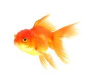 Goldfish Isolated on black Background. Royalty Free Stock Image