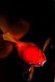 Goldfish isolated on Black Stock Image