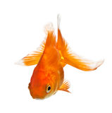 Goldfish isolated on white Stock Image