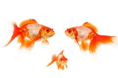 Goldfish isolated on white Stock Image