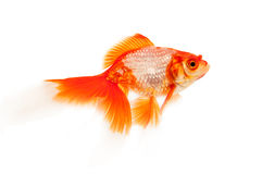 Goldfish isolated on white Stock Photography