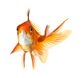 Goldfish isolated on white background Royalty Free Stock Photos