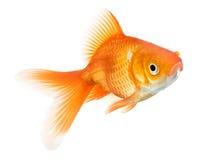 Goldfish isolated on white background Stock Photo