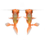 Goldfish isolated on white background Royalty Free Stock Photography