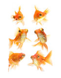 Goldfish isolated on white background Stock Photography