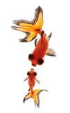 Goldfish isolated on white background Royalty Free Stock Image
