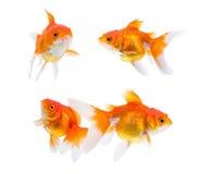 Goldfish isolated on white background.  royalty free stock image
