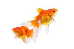 Goldfish isolated on white background.  royalty free stock photo