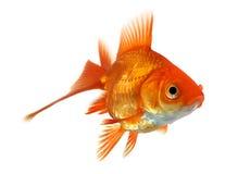 Goldfish isolato su bianco Immagine Stock Libera da Diritti