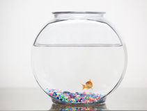 Goldfish in its bowl Stock Photography