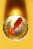 Goldfish in jar. Sitting in orange juice with shadow Stock Image
