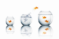 Goldfish jump Royalty Free Stock Image