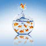 Goldfish jump Royalty Free Stock Images